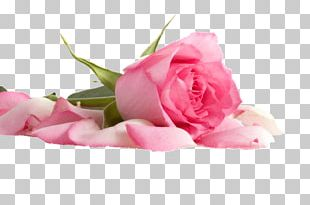 Pink Flowers Pink Flowers Beach Rose Color PNG