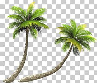 Arecaceae Coconut Illustration PNG