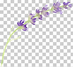 English Lavender Flower Watercolor Painting PNG