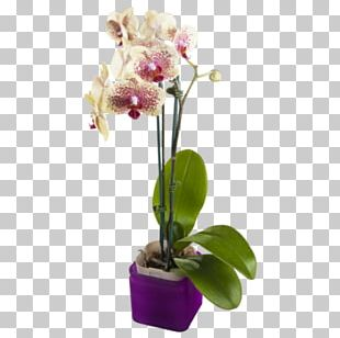 Moth Orchids Yellow Cut Flowers Purple PNG