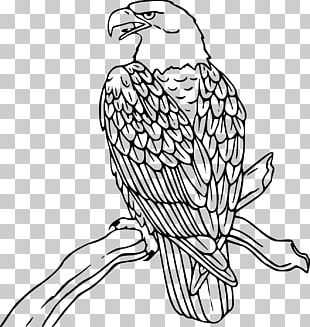 Bald Eagle Coloring Book Drawing Bird PNG