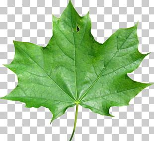 Japanese Maple Maple Leaf Red Maple Meaning PNG