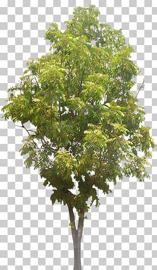 Tree Arecaceae Landscape Architecture PNG