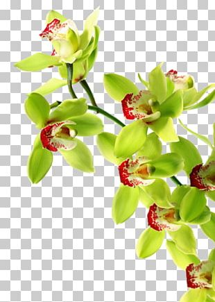 Orchids Green Orchid Growing Tiger Orchid Boat Orchid PNG