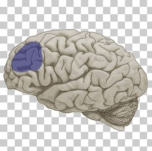Lobes Of The Brain Frontal Lobe Temporal Lobe Cerebral Hemisphere PNG