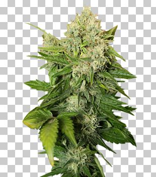 Cannabis Sativa Cannabis Cup Skunk Cannabis Tea Marijuana PNG