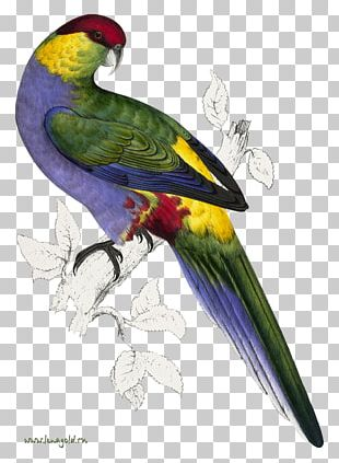 Bird Parrot Natural Histories: Extraordinary Rare Book Selections From The American Museum Of Natural History Library Purple-naped Lory Reptile PNG