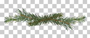 Salix Matsudana Pine Branch Conifer Cone PNG
