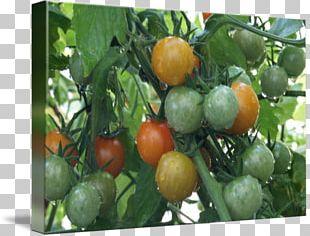 Bush Tomato Vegetarian Cuisine Food Cherry Tomato PNG