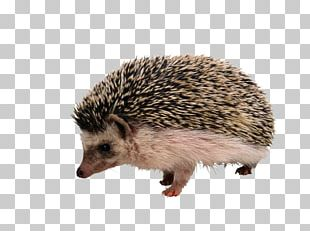 European Hedgehog The Hedgehog And The Fox Porcupine Rodent Echidna PNG
