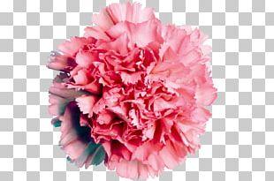 Carnation Flower Rose Pink Color PNG