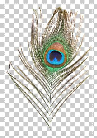 Feather Peafowl PNG