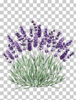 Lavender Portable Network Graphics Illustration Graphics PNG