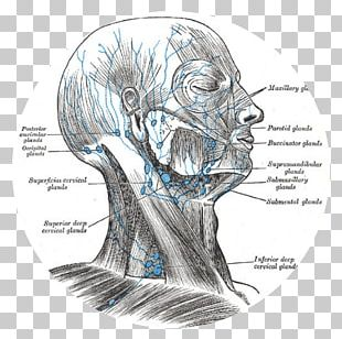 Superficial Cervical Lymph Nodes Lymphatic System Head And Neck Anatomy PNG