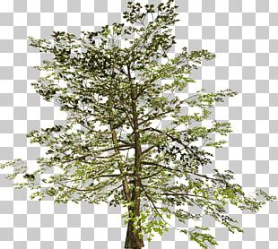 Plane Trees Russia Diary Twig PNG