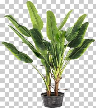 Banana Leaf Musa Basjoo Ravenala PNG