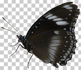 Brush-footed Butterflies Pieridae Gossamer-winged Butterflies Butterfly PNG
