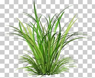 Cymbopogon Martinii Green PNG
