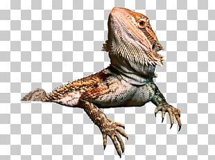 Agama Lizard Central Bearded Dragon PNG