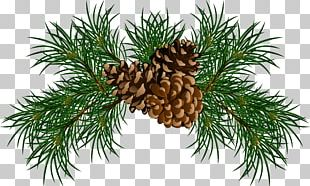 Pine Conifer Cone Branch PNG