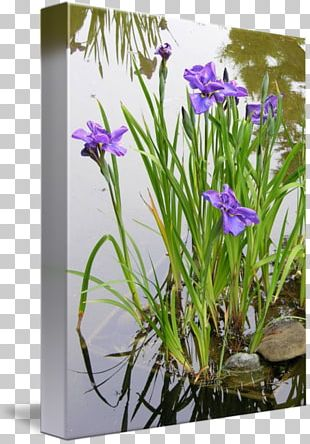 Aquatic Plants Iris Pseudacorus Allium Fistulosum Garden PNG