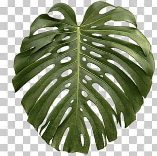 Leaf Swiss Cheese Plant Tropics PNG