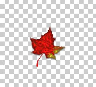 Maple Leaf Japanese Maple Autumn Leaf Color Red Maple PNG