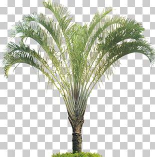 Dypsis Decaryi Tree Arecaceae Tropics Plant PNG