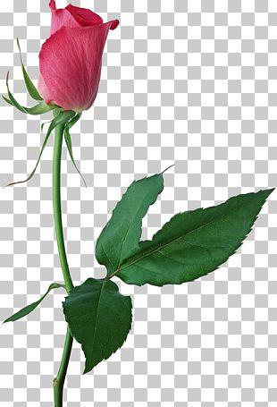 Garden Roses Centifolia Roses Cut Flowers Floral Design Leaf PNG