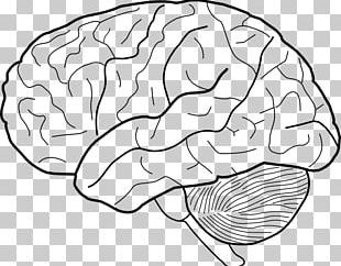 Outline Of The Human Brain Drawing Outline Of The Human Brain PNG