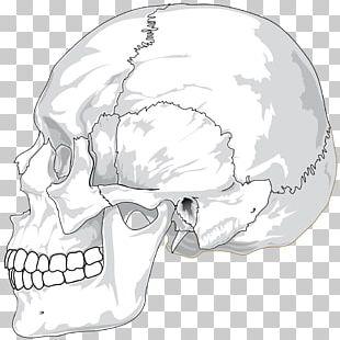 Human Skull Human Skeleton Anatomy Bone PNG