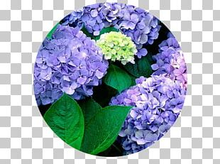French Hydrangea Flower Garden Seed PNG