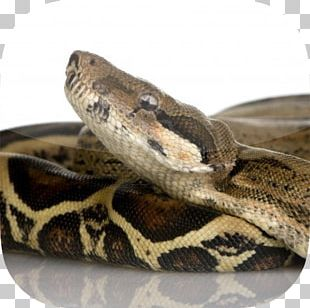 Snake Constriction Boa Constrictor Imperator UGRodents Stock Photography PNG