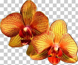 Moth Orchids Orange Flower Plant PNG