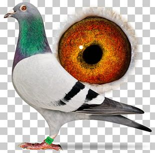 Homing Pigeon Columbidae Pigeon Racing Bird PNG