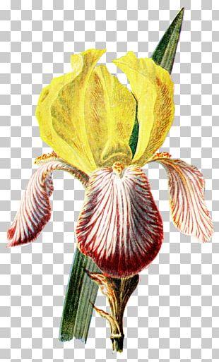 Irises Botanical Illustration Botany Flower PNG