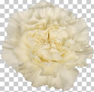 Carnation Cut Flowers Alessandria White Skin PNG