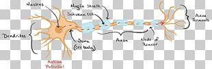 Cerebrum Homo Sapiens Neuron Memory Ear PNG