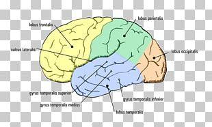 Temporal Lobe Epilepsy Cerebral Cortex Agy PNG