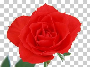Beach Rose Flower Red Color PNG