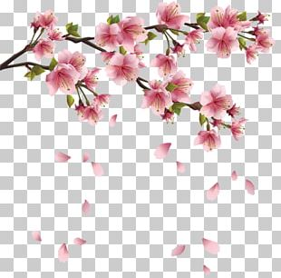 Cherry Blossom Portable Network Graphics PNG