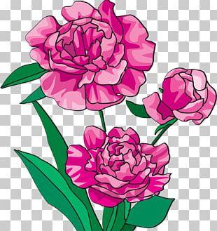 Peony Bai Mudan Paeonia Officinalis Pink Flowers PNG