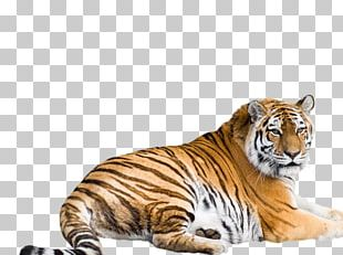 Cat Felidae White Tiger Siberian Tiger Bengal Tiger PNG