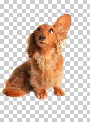 Dachshund Pet Sitting Dog Grooming Listening PNG