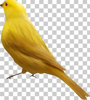 Bird Goose Atlantic Canary Finch PNG