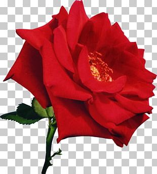 Rose Red Flower Pink White PNG