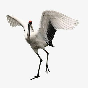 Red-crowned Crane PNG