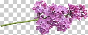 Lilac Plant Tree Flower PNG