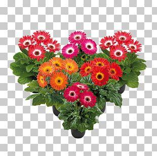 Transvaal Daisy Floral Design Cut Flowers Chrysanthemum PNG