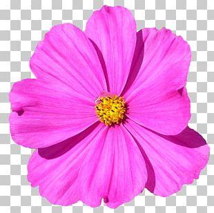 Garden Cosmos Flower Petal PNG